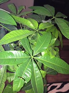 Using the Money Tree to create wealth – Shui 7 Feng on sage house plant, egg house plant, five leaves new york, five leaves vine, five leaves ground cover, five leaves poisonous plants,